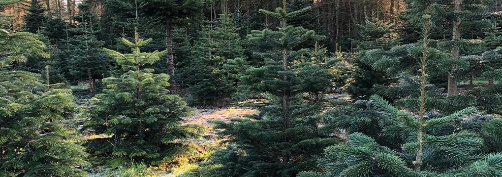 juletræer i plantagen på Holdflod